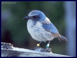 Florida scrub-jay picture