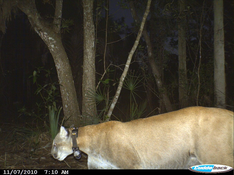 Florida panther caught on  camera at Caracara Prairie Preserve