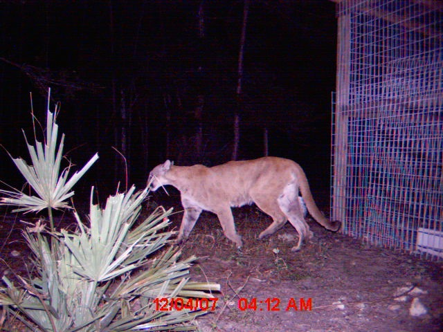 Florida panther at Nancy Payton Preserve in 2007