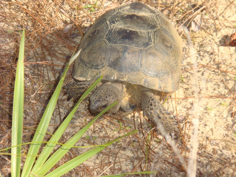 gopher tortoise at Nancy Payton Preserve