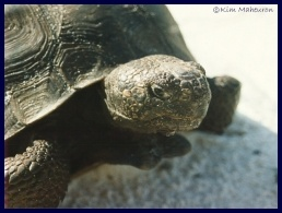 Gopher tortoise picture