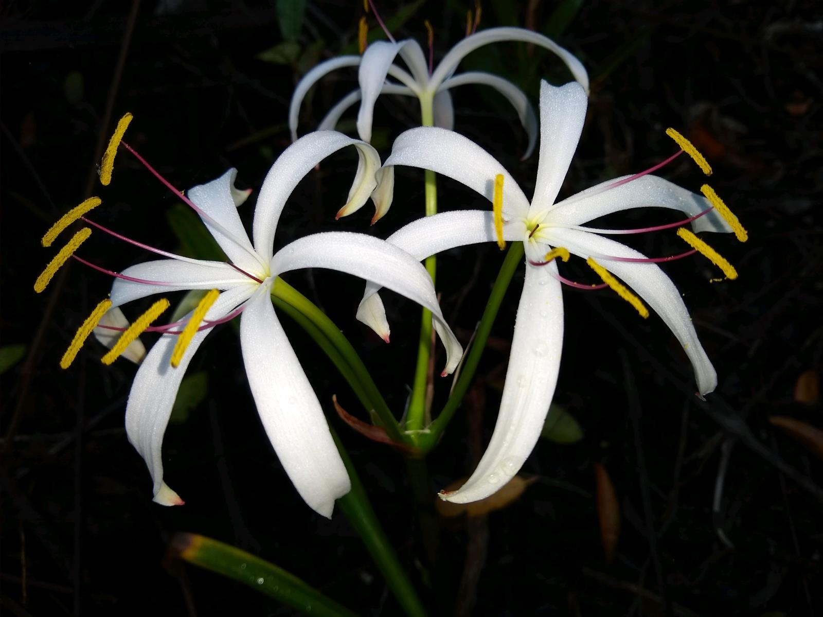 string lily