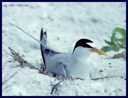Least tern picture 1