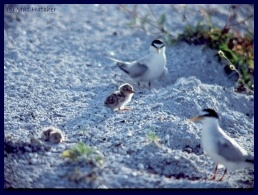 Least tern picture 2