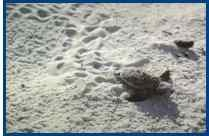 Sea Turtle Hatching Picture