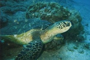 Atlantic Green turtle picture