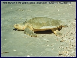 Kemp's ridley turtle picture