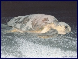 Loggerhead sea turtle picture