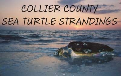 Collier County Sea Turtle Strandings Picture