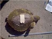 Stranding picture 5 - measuring the length of a turtle