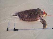 Stranding picture 6 - measuring the length of a turtle