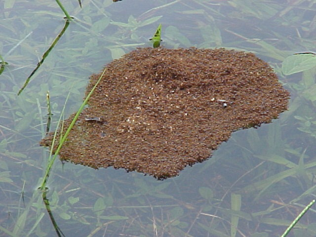Floating Fire Ants